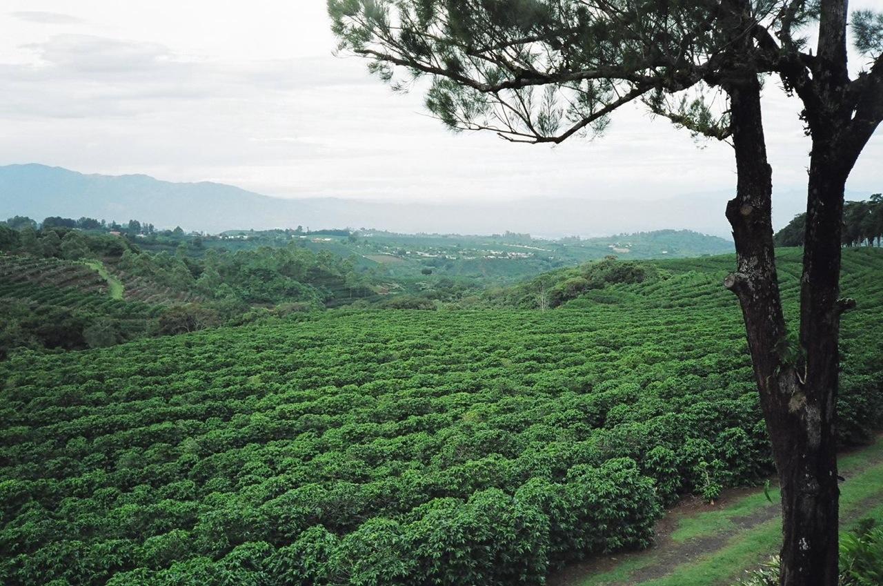 coffee_fields_of_Costa_Rica